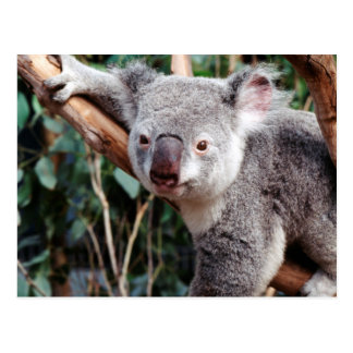 Featherdale Wildlife Park, Koala Bears Postcard