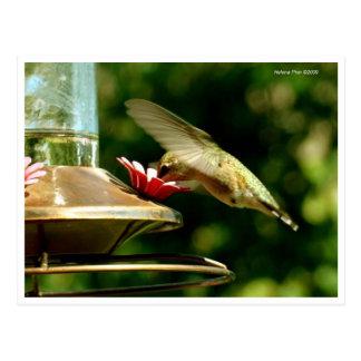 Feeding Hummingbird Postcard