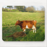 Feeding time for Guernsey cow Mouse Pad