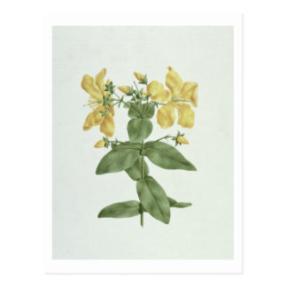 Feel-Fetch (Hypericum quartinianum) (w/c over grap Postcard