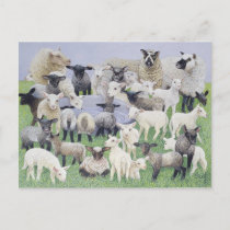 Feeling Sheepish Postcard