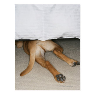 Feet and tail of yellow lab dog hidden under bed postcard