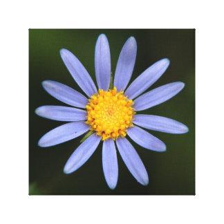 Felicia Amelloides (margarita de margarita azul) Impresión En Lienzo Estirada