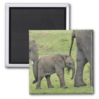 Female African Elephant with baby, Loxodonta 3 Magnet