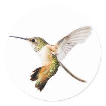 Female Allen's Hummingbird sticker