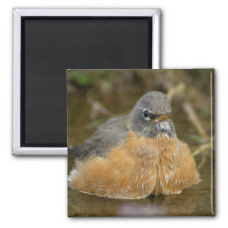 Female American Robin bathing, Yellowstone NP, 2 Inch Square Magnet