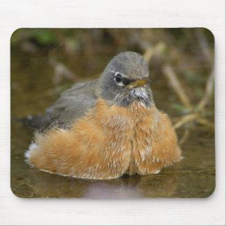 Female American Robin bathing, Yellowstone NP, Mouse Pad