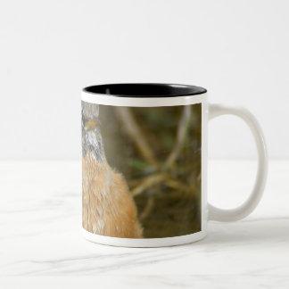 Female American Robin bathing Yellowstone NP Mug