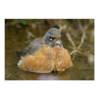 Female American Robin bathing, Yellowstone NP, Photo Print