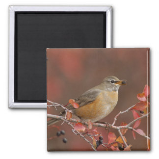 Female American Robin in Black Hawthorn 2 Inch Square Magnet