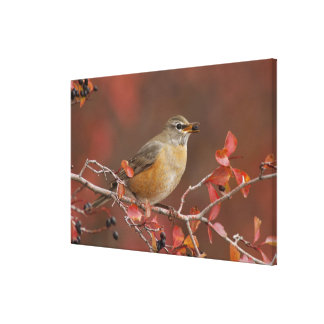 Female American Robin in Black Hawthorn Canvas Print