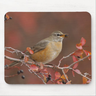 Female American Robin in Black Hawthorn Mouse Pad