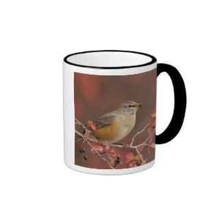 Female American Robin in Black Hawthorn Mugs