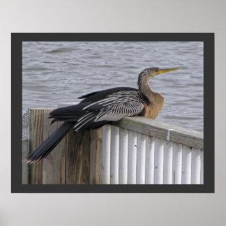 Female Anhinga - Resting Near Pond Poster