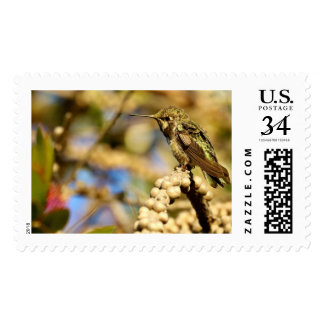 Female Anna's Hummingbird, California, Photo Large Postage