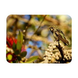 Female Anna's Hummingbird, California, Photo Magnet