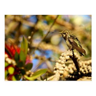 Female Anna's Hummingbird, California, Photo Postcard