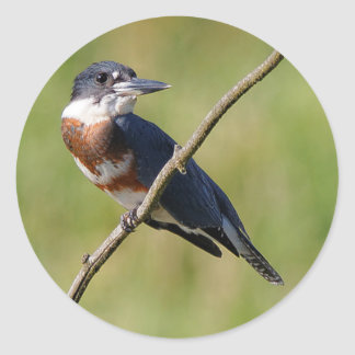 Female Belted Kingfisher Out on a Limb Classic Round Sticker