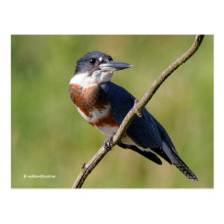 Female Belted Kingfisher Out on a Limb Postcard