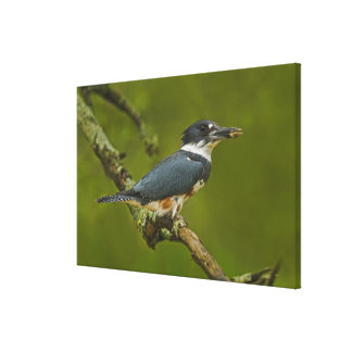 Female Belted Kingfisher with prey near nest Canvas Prints
