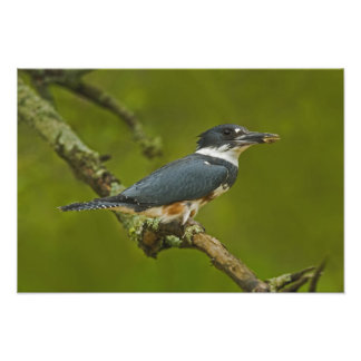 Female Belted Kingfisher with prey near nest Art Photo