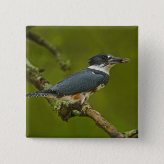 Female Belted Kingfisher with prey near nest Pinback Button
