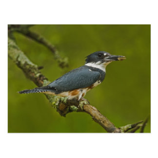 Female Belted Kingfisher with prey near nest Postcard