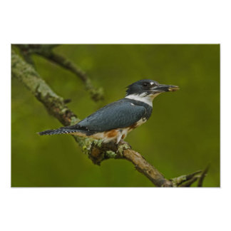 Female Belted Kingfisher with prey near nest Print