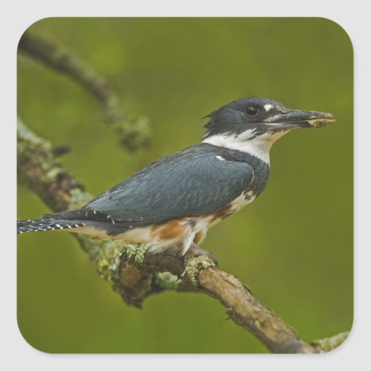 Female Belted Kingfisher with prey near nest Square Sticker