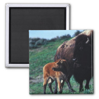 Female bison with a calf refrigerator magnets
