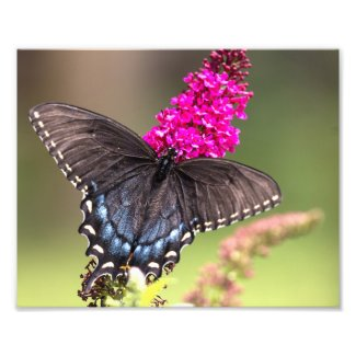 Female Black Swallowtail Butterfly Photo Print