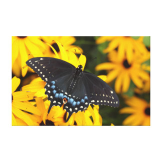 Female Black Swallowtail Butterfly wrapped canvas