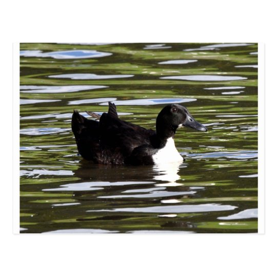 Female Blue Swedish Duck Postcard