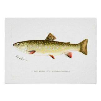 Female Brook Trout Poster