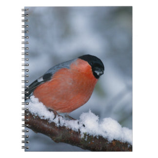 Female Bullfinch on a snowy branch Notebook