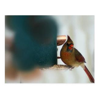 Female Cardinal at Birdfeeder Postcard
