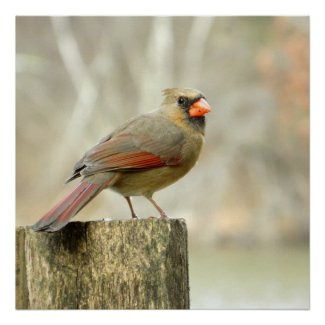 Female Cardinal on Fence Poster