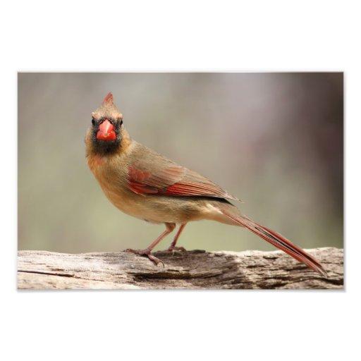 Female Cardinal Photo Art