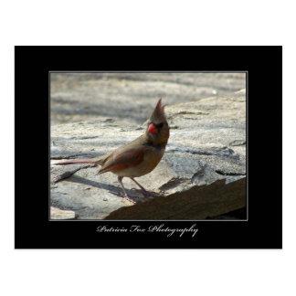 Female Cardinal - Postcard