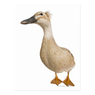 Female Crested Duck, 3 years old Postcard