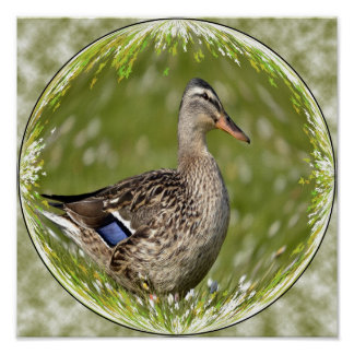 Female duck mallard in sphere poster