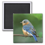 Female Eastern Bluebird, Sialia sialis 2 Inch Square Magnet