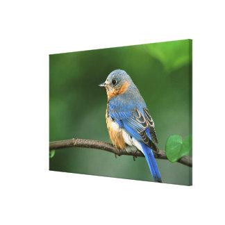 Female Eastern Bluebird, Sialia sialis Canvas Print