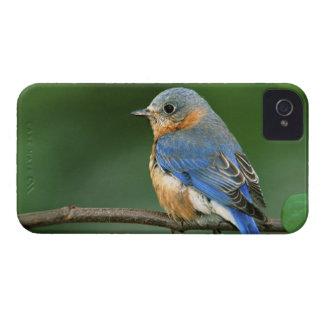 Female Eastern Bluebird, Sialia sialis iPhone 4 Case-Mate Case