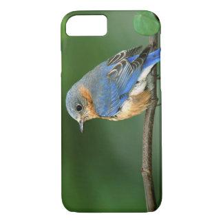 Female Eastern Bluebird, Sialia sialis iPhone 7 Case