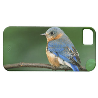 Female Eastern Bluebird, Sialia sialis iPhone SE/5/5s Case