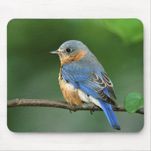 Female Eastern Bluebird, Sialia sialis Mouse Pad