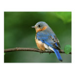 Female Eastern Bluebird, Sialia sialis Postcard