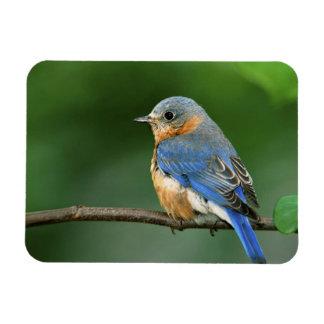 Female Eastern Bluebird, Sialia sialis Rectangular Photo Magnet