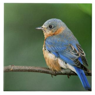 Female Eastern Bluebird, Sialia sialis Tile